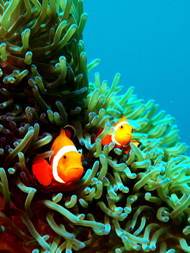 anemone fish hirekatsu Diving into Underwater Photography, Part 2: 5 More Essential Things to Remember