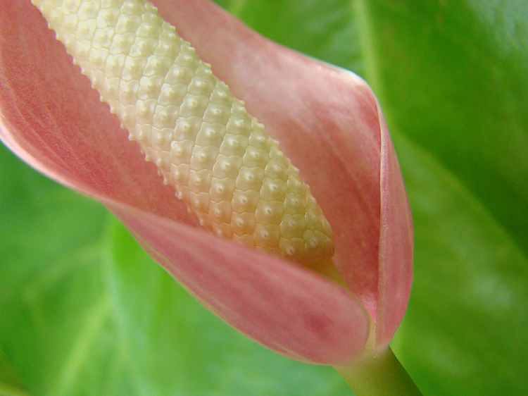 anthurium 5 Useful Tips on Shooting Nature Macro