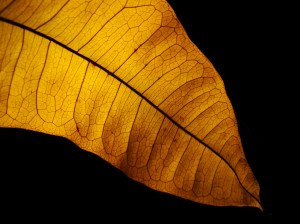 goldenleaf 300x224 How to Photograph Leaves